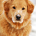 Snowy Golden Retriever Print by Christina Rollo