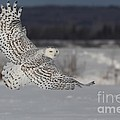 Snowy Owl in flight Print by Mircea Costina Photography