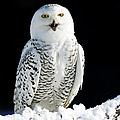 Snowy Owl on a Twilight Winter Night Poster by Inspired Nature Photography By Shelley Myke