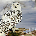 Snowy Owl on a Winter Hunt Poster by Inspired Nature Photography By Shelley Myke
