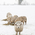 Snowy Sheep Poster by Anne Gilbert