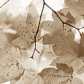 Softness of Brown Maple Leaves Poster by Jennie Marie Schell
