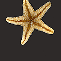Solo Starfish II Poster by Suzanne Gaff