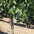 Sonoma Vineyards In August In The Sonoma California Wine Country 5D24487 Print by Wingsdomain Art and Photography