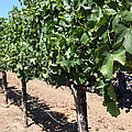 Sonoma Vineyards In The Sonoma California Wine Country 5D24491 Print by Wingsdomain Art and Photography