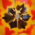 Soul of a tulip Poster by Sonali Gangane