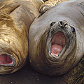 Southern Elephant Seal Pair Calling Poster by Konrad Wothe