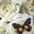 Speckled butterfly on white rose Poster by Garry Gay