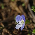 Speedwell Print by Billy  Griffis Jr