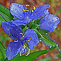 Spiderwort on Natchez Trace Parkway-MS Print by Ruth Hager