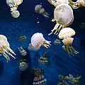 Spotted Jelly Fish 5D24951 Print by Wingsdomain Art and Photography