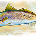 Spotted Trout Illustration Poster by Mike Savlen