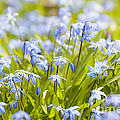 Spring blue flowers glory-of-the-snow Print by Elena Elisseeva