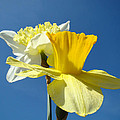 Spring Blue Sky Yellow Daffodil Flowers art prints Print by Baslee Troutman