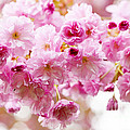 Spring cherry blossoms  Print by Elena Elisseeva
