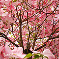 Spring Pink Dogwood Tree Blososms art prints Print by Baslee Troutman Photography Art Prints