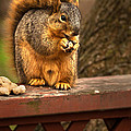 Squirrel Eating a Peanut Print by  onyonet  photo studios