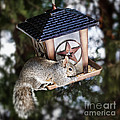 Squirrel on bird feeder Poster by Elena Elisseeva