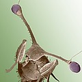 Stalk-eyed fly, SEM Poster by Science Photo Library