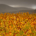 Storm Over Vinyard - Landscape Photos Poster by Laria Saunders