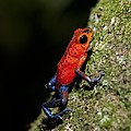 Strawberry poison frog Poster by Science Photo Library