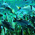 Striped Bass - Painterly v1 Print by Wingsdomain Art and Photography