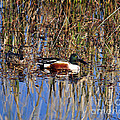 Stunning Shovelers Print by Al Powell Photography USA