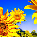 Summertime Sunflowers Poster by Bob Orsillo