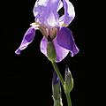 Sun-drenched Iris Print by Rona Black