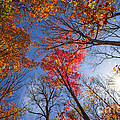 Sun in fall forest canopy  Print by Elena Elisseeva