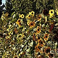 sunflower fields forever Poster by Peggy J Hughes