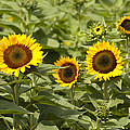 Sunflower Patch Poster by Bill Cannon