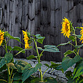 Sunflower Quartet Print by Bill  Wakeley