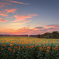 Sunflower Sunset Poster by Bill  Wakeley
