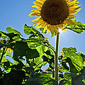 Sunflower with Sun Poster by Donna Doherty