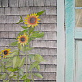 Sunflowers by the Shed Poster by Pat Diemand