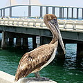 Sunshine Skyway and Pelican Print by Carol Groenen