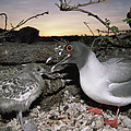 Swallow-tailed Gull And Chick In Pebble Print by Tui De Roy
