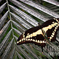 Swallowtail Butterfly Print by Olivier Le Queinec