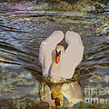 Swan Reflections Print by Cheryl Young
