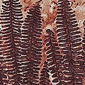 Sword Fern Fossil Print by Katherine Young-Beck