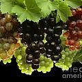 Table Grapes Print by Craig Lovell