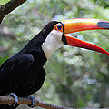 Talkative Toucan Poster by Ginny Barklow