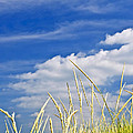 Tall grass on sand dunes Poster by Elena Elisseeva