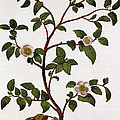 Tea Branch of Camellia sinensis Poster by Anonymous