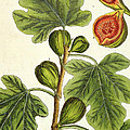 The Fig Tree Print by Elizabeth Blackwell