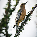 The Gila  Woodpecker Print by Robert Bales