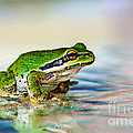 The Green Frog Print by Robert Bales