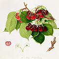 The May Duke Cherry Print by William Hooker
