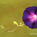 The Morning Glory Print by Darren Fisher
